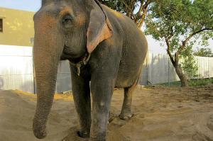 SAMBO-ELEPHANT